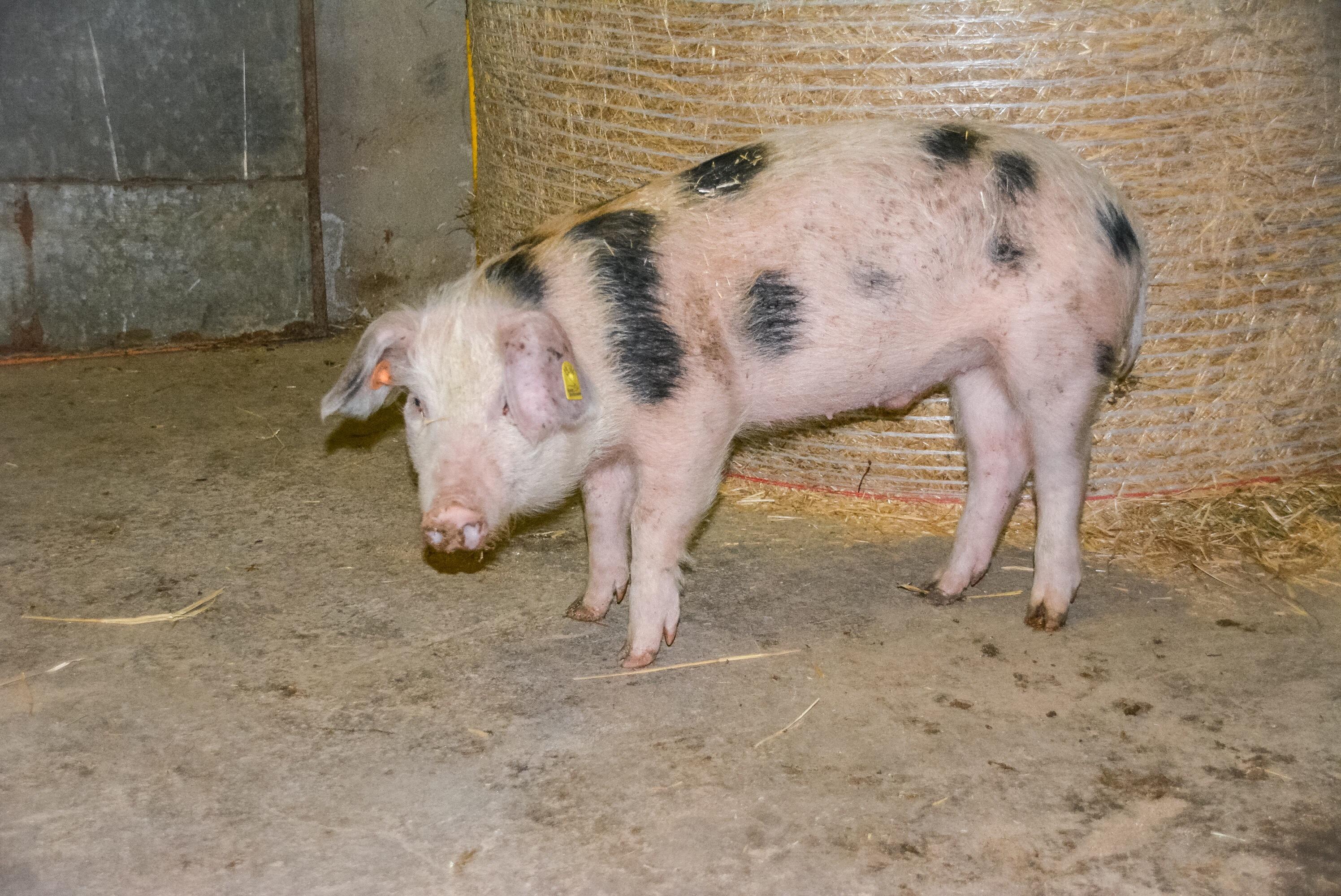 Wie man auf natürliche Weise große Schweine bekommt